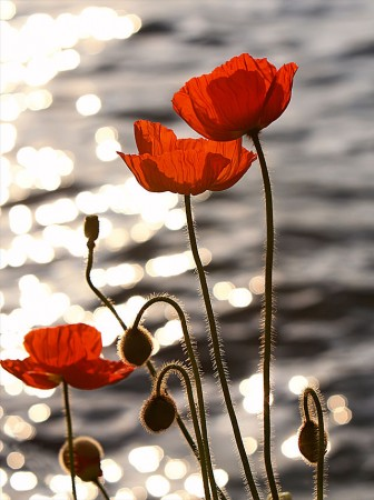 Eric Hill from Boston, MA, USA - Poppies in the Sunset on Lake Geneva Uploaded by PDTillman